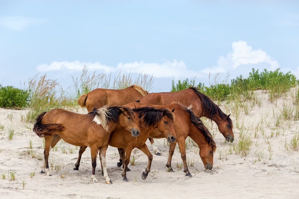 Assateague Horse or Chincoteague-Ponies
